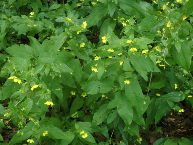 4. Fringed Loosestrife Plants