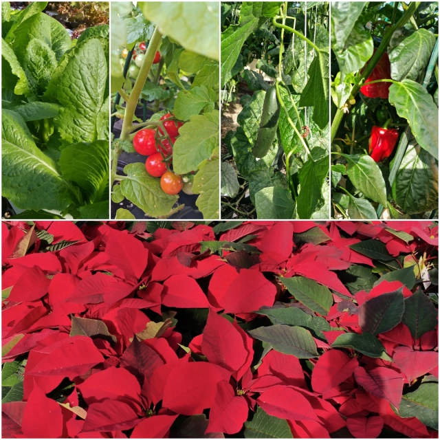 2017 Greenhouse Poinsettia Open House